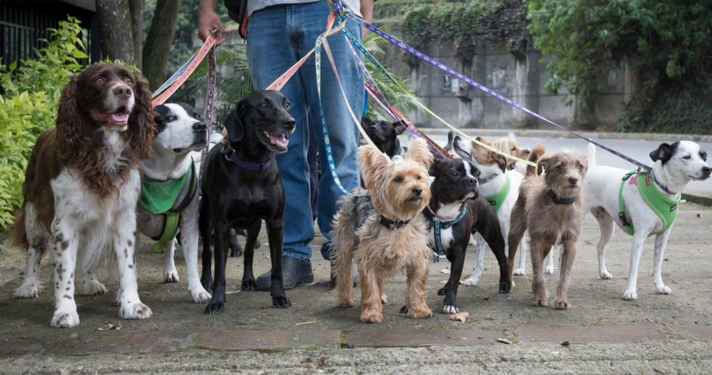 Man walking a group of dogs