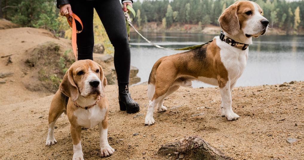Woman walking two beagles